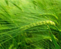 Zelený ječmen a hubnutí