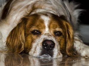 Jak psa odnaučit štěkat? Pomocí elektronického obojku!